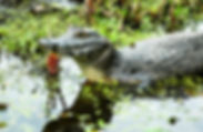 Picture of a yacare caiman in Argentina's Esteros del Ibara as a fine art nature print for the wall of your home or office.