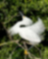 Picture of a snowy egret dancing for a mate in a rookery near Kissimmee, Florida as a fine art nature print for the wall of your home or office.