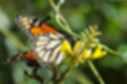 Picture of a monarch butterfly feeding in Florida's Honeymoon Island State Park as a fine art nature print for the wall of your home or office.
