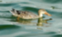 Picture of a northern shoveler hen swimming in Lakeland, Florida's Lake Morton as a fine art nature print for the wall of your home or office.