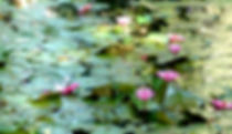 Picture of pink water lilies in the spring run at Eureka Springs Park in Tampa, Florida as a fine art nature print for the wall of your home or office.