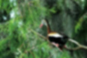 Picture of a black-bellied whistling duck in Tampa, Florida's Lettuce Lake Park as a fine art nature print for the wall of your home or office.