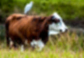 Picture of a cattle egret riding on the back of a cow as a fine art nature print for the wall of your home or office.