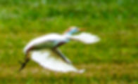 Picture of a cattle egret in flight as a fine art nature print for the wall of your home or office.