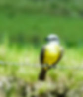 Picture of a tropical kingbird of a barbed wire fence in Costa Rica's Osa Peninsula as a fine art nature print for the wall of your home or office.