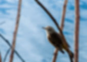 Picture of a northern waterthrush in the reeds of Lakeland, Florida's Circle B Bar Preserve as a fine art nature print for the wall of your home or office.