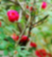 Picture of a rose bush in Hillsborough County, Florida's Aldermans Ford Park as a fine art nature print for the wall of your home or office.
