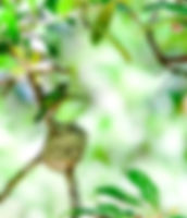 Picture of a ruby-throated hummingbird leaving its next after feeding its chicks in Tampa, Florida's Lettuce Lake Park as a fine art nature print for the walls of your home or office.