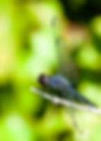 A male slaty skimmer dregonfly as a fine art nature print for the walls of your home or office.