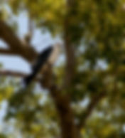 Picture of a swallow-tailed kite in a tree in Hillsborough County, Florida's E.G. Simmons Park as a fine art nature print for the wall of your home or office.