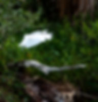 Picture of a snowy egret preparing to land in a marsh near Rubonia, Florida as a fine art nature print for the wall of your home or office.