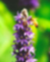 Picture of a honey bee polinating a pickerelweed flower in Tampa, Florida's Lettuce Lake Park as a fine art nature print for the wall of your home or office.