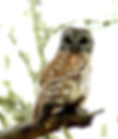 Picture of a barred owl in a pine tree in Tampa, Florida's Lettuce Lake Park as a fine art nature print for the wall of your home or office.
