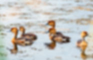 Fulvous whistling-ducks as a fine art nature print for the walls of your home or office.