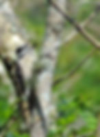 Picture of a downy woodpecker searching for food in Tampa, Florida's Lettuce Lake Park as a fine art nature print for the wall of your home or office.