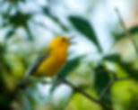 Picture of a prothonotary warbler singing in Tampa, Florida's Lettuce Lake Parkt as a fine art nature print for the wall of your home or office.