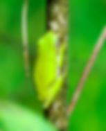 Picture of a green treefrog on a branch in Tampa, Florida's Lettuce Lake Park as a fine art print for the wall of your home or office.