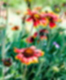 Picture of an indian blanket flower as a fine art nature print for your home or office.