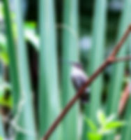 Picture of an immature/female ruby-throated hummingbird as a fine art nature print for the wall of your home or office.