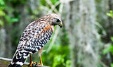 Young Red-Shouldered Hawk.jpg