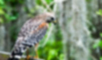 A red-shouldered hawk as a fine art nature print for the walls of your home or office.