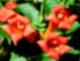Picture of a red trumpet creeper flowers in Tampa, Florida's Lettuce Lake Park as a fine art nature print for the wall of your home or office.