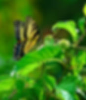 Picture of a tiger swallowtail butterfly on a flower in Tampa, Florida's Lettuce Lake Park as a fine art nature print for the wall of your home or office.