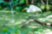 Picture of a great white egret stealthily nearing the water in Tampa, Florida's Lettuce Lake Park as a fine art nature print for the walls of your home or office.