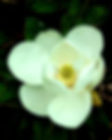 Picture of a white magnolia blossom as a fine art nature print for the wall of your home or office.