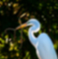 Picture of a great white egret with material for its nest as a fine art nature print for the wall of your home or office.