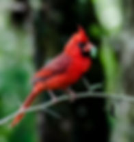 Picture of a male northern cardinal at Tampa, Florida's Lettuce Lake Park as a fine art nature print for the wall of your home or office.