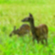 Picture of a pair of white-tailed deer in Cades Cove in the Great Smoky Mountains as a fine art nature print for the wall of your home or office.