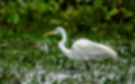 Picture of a great white egret in marshes of Argentina's Esteros del Ibara as a fine art nature print for the wall of your home or office.