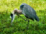 Picture of a great blue heron scratching an itch at Lakeland, Florida's Lake Morton as a fine art nature print for the wall of your home or office.