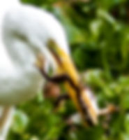 Picture of a great white egret with a large bullfrog it has caught in Tampa, Florida's Lettuce Lake Park as a fine art nature print for the walls of your home or office.