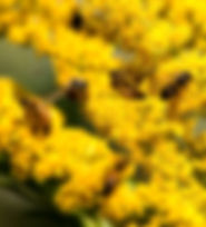 Picture of honey bees swarming over wand goldenrod in Florida's Cockroach Bay Aquatic Preserve as a fine art nature print for the wall of your home or office.