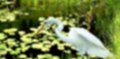 Picture of a great white egret fishing in a pond as a fine art nature print for the wall of your home or office.