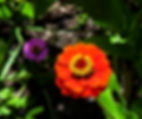 A red zinia as a fine art nature prin for the walls of your home or office.