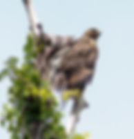 Picture of an immature red-shouldered hawk watching from prey from a dead tree as a fine art nature print for the wall of your home or office.