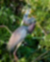 Picture of a tri-colored heron presenting for its mate in a rookery near Kissimmee, Florida as a fine art nature print for the wall of your home or office.