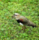 Picture of a southern lapwing in Argentina's Parque Nacional Iguazu as a fine art nature print for the wall of your home or office.