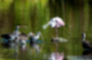 Picture of a roseate spoonbill surrounded by immature American white ibises as a fine art nature print for the wall of your home or office.