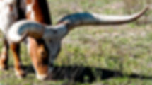Picture of an ankole-watusi cow in a pasture in southeastern Hillsborough County, Florida as a fine art print for the wall of your home or office.