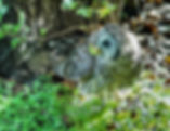 Picture of a juuvenile barred owl with a caterpillar at Tampa, Florida's Lettuce Lake Park as a fine art nature print for the wall of your home or office.