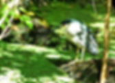 Picture of a black crowned night heron hunting in Tampa, Florida's Lettuce Lake Park as a fine art nature print for the wall of your home or office.