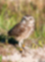 A burrowin owl as a fine art nature print for the walls of your home or office.