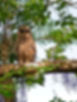 Picture of a fledgling barred owl just out of its nest in Tampa, Florida's Lettuce Lake Park as a fine art nature print for the wall of your home or office.