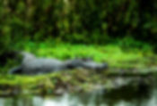 Pictures of caimans as fine art nature prints for the wall of your home or office.