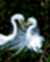 Picture of two great white egrets at the Venice Rookery in Venice, Florida as a fine art nature print for the wall of your home or office.