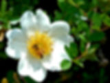 Picture of a honey bee on a Cherokee rose as a fine art nature print for the wall of your home or office.